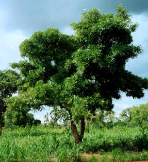 Le karité, un arbre sacré