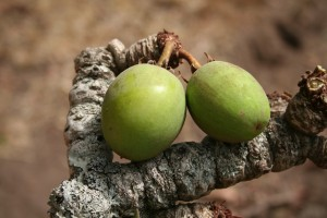 La noix de karité bio fraîche